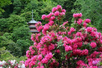 京都宇治・三室戸寺のしゃくなげ