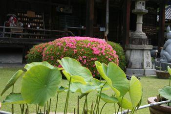 京都宇治三室戸寺はす