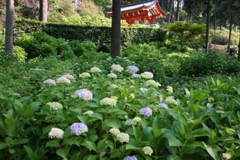 京都宇治・三室戸寺のあじさい