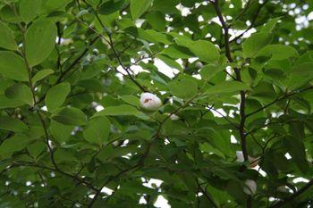 京都宇治三室戸寺の沙羅双樹