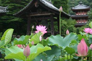 京都宇治三室戸寺の蓮とあじさい
