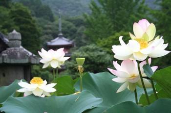 京都宇治・三室戸寺のハス