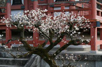 京都宇治三室戸寺の梅