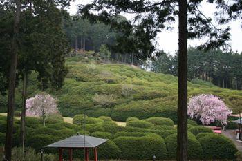 京都宇治三室戸寺の桜