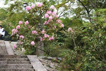 京都宇治三室戸寺のシャクナゲ