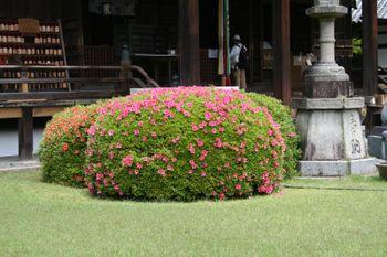 京都宇治三室戸寺のさつき