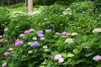 京都宇治三室戸寺の紫陽花