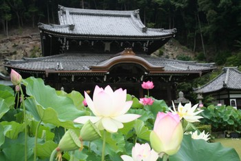 京都宇治三室戸寺の蓮