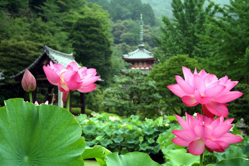 「京都 蓮」的圖片搜尋結果